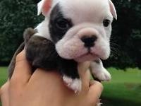 English bulldog young puppy. Lady. She is gorgeous.
