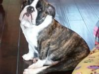 AKC 6 month old male English bulldog. He is a chocolate