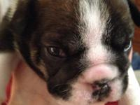 1 male Triple carrier English Bulldog. 5 weeks old.