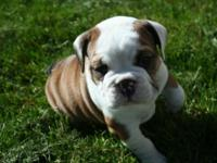 Ava is a gorgeous English Bulldog puppy. She is