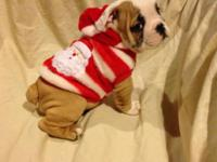 Mr. BOJANGLES  AVAILABLE MALE ENGLISH BULLDOG PUPPY.