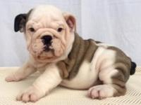 EARL-MALE ENGLISH BULLDOG. English bulldog young