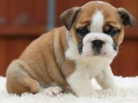 AWESOME BULLDOG PUPPIES. These dogs are simply
