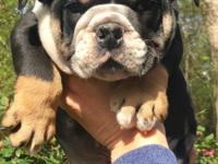 Gorgeous AKC Black Tri Male English Bulldog Triple