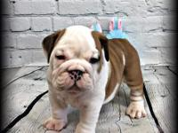 Gus is an AKC registered English Bulldog looking for