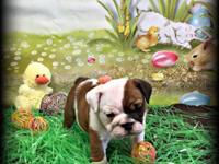 Maggie is a AKC registered English Bulldog and is