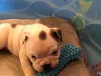 AKC English Bulldog puppies These puppies were born