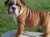 If you want a great looking, friendly English Bulldog,