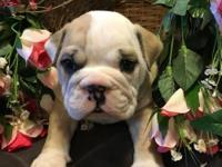 Boss is the light fawn and white English Bulldog that