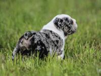 """Luther"" is a gorgeous black merle atat seal triple"