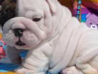 English bulldog puppy for sale. Contact for more