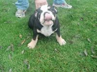 Django is an AKC English Bulldog male, tri colored