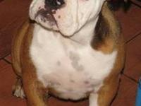 We have 1 Male English Bulldog puppy left. He is UTD on