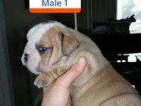 Akc registered English Bulldog puppies. Dad carries