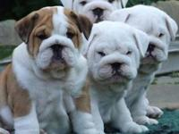 Helloi have a wonderfull litter of english bulldog