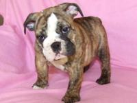 AKC reg these pups are extremely loveable & calm...we