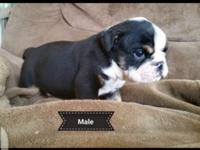 Blk Tri English bulldog puppies. Akc reg. Males and