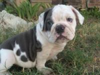 I have 2 females 1 male all English Bulldog triple