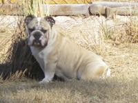 English Bulldog puppies. Mother is Ziggy, she is out of
