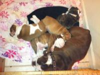 9wks old AKC bulldogs only 1 male left Have great