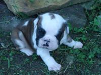 Christmas English bulldog puppies! AKC reg. I have mom