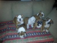 Just in time for X-mas. AKC registered 2. females 2