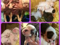 My English Bulldog had 10 lovely puppies. I have 6 for
