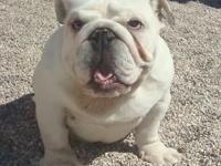 We have a white Bulldog 10 mos old. adorabull and