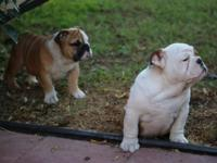 AKC signed up English Bulldog female young puppies,