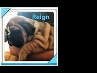 Akc male english bulldog searching for his furever