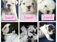 Litters DOB: 04/30/15 4 FEMALES -1 MALE AVAILABLE AKC