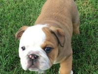 English Bulldogs AKC registered, 1 female, 2 males, 8
