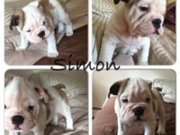 They are Adorable english bulldog, they are 7 weeks