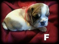 Cute bulldogs puppies ready end of Sept. Taking $300