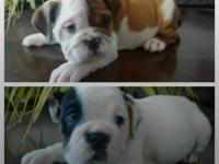 English bulldogs akc registered 7 weeks old amazing and