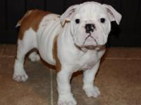 AKC Registered English Bulldog puppies. 4 females left,