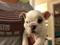 Two English bulldog puppies, females, $1500 for each. 9