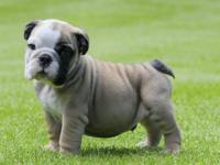 English bulldogs for sale -  English bulldog is  12