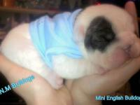 I have 3 mini english bulldogs for sale 2 female's and