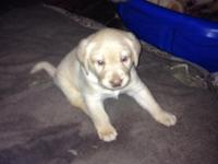 AKC English champ yellow lab young puppies. 1 female 4