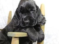 Beautiful Black Male Puppy, loving and sweet. Full of