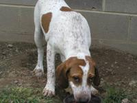 English Coonhound - Charlie - Large - Adult - Male -