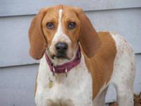 English Coonhound - Lady Pup - Large - Baby - Female -