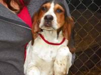 English Coonhound - Miss Molly - Medium - Young -