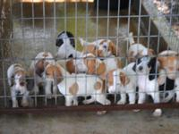 UKC registered English coon hound puppies 8 weeks old