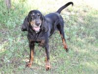 English Coonhound - Sally - Medium - Adult - Female -