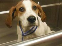 English Coonhound - Selena - Large - Baby - Female -