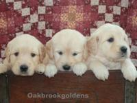 We have an English Cream/American Golden litter of
