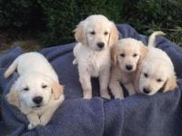 ENGLISH CREAM GOLDEN RETRIEVER PUPPIES AKC... English