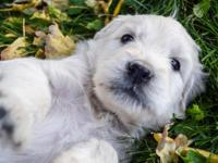 English Cream F1 Goldendoodle puppies
